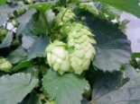 Hopfen 'Northern Brewer', Humulus lupulus 'Northern Brewer', Containerware