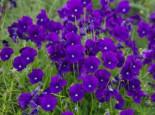 Horn Veilchen 'Martin', Viola cornuta 'Martin', Topfware