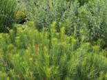 Freiflächen - Hubrichts Röhrenstern, Amsonia hubrichtii, Topfballen