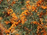 Laubbäume - Sanddorn 'Orange Energy' ® / 'Habego' (S), 40-60 cm, Hippophae rhamnoides 'Orange Energy' ® / 'Habego' (S), Containerware