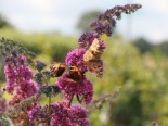 Blütensträucher und Ziergehölze - Sommerflieder / Schmetterlingsstrauch 'Flower Power' ® 'Bicolor', 30-40 cm, Buddleja davidii 'Flower Power' ® /  'Bicolor', Containerware