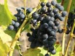 Weintrauben - Weintraube 'Venus' ® kernarm blau, 80-100 cm, Vitis 'Venus' ®, Containerware