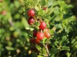 'Stachelarme' Stachelbeere 'Larell' -Neu-, 30-40 cm, Ribes uva-crispa 'Larell', Containerware