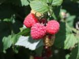 Beeren - Himbeere 'Aroma Queen', 40-60 cm, Rubus idaeus 'Aroma Queen', Containerware