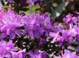 Rhododendron impeditum, 15-20 cm, Containerware