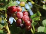 Weintrauben - Weintraube 'Bellarosso', 80-100 cm, Vitis 'Bellarosso', Containerware