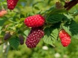Brombeere 'Buckingham Tayberry' ®, 40-60 cm, Rubus 'Buckingham Tayberry' ®, Containerware