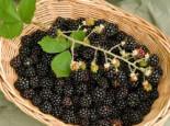 Brombeere 'Choctaw' ®, 40-60 cm, Rubus fruticosus 'Choctaw' ®, Containerware