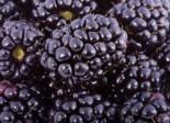 Beeren - Brombeere 'Kiowa' ®, 40-60 cm, Rubus fruticosus 'Kiowa' ®, Containerware