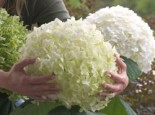Freiland-Hortensie 'Incrediball' Hydrangea arborescens 'Incrediball'  / 'Strong Annabell'