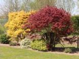 Laubbäume - Fächerahorn im 2 Stück Sortiment - gelb und rot, 25-30 cm, Acer palmatum 'Atropurpureum' und 'Orange Dream' Paket, Containerware