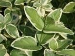 Produkt ohne Kategoriezuordnung - Immergrün 'Variegata', 15-20 cm, Vinca minor 'Variegata', Topfware