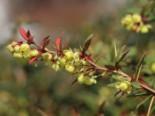 immergrüne Laubbäume - Immergrüne Lanzen-Berberitze 'Klugowski', 30-40 cm, Berberis gagnepainii 'Klugowski', Containerware