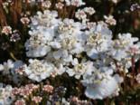 Immergrüne Schleifenblume 'Fischbeck', Iberis sempervirens 'Fischbeck', Topfware