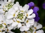 Immergrüne Schleifenblume 'Tahoe', Iberis sempervirens 'Tahoe', Topfware