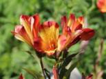 Zwiebel- und Knollenstauden - Inkalilie 'Andez Red and Yellow', Alstroemeria x cultorum 'Andez Red and Yellow', Topfballen