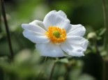 Japan-Herbst-Anemone 'Honorine Jobert', Anemone japonica 'Honorine Jobert', Containerware