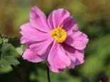 Gehölzrand - Japan-Herbst-Anemone 'Königin Charlotte', Anemone japonica 'Königin Charlotte', Containerware