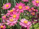 Gehölzrand - Japan-Herbst-Anemone 'Pamina', Anemone japonica 'Pamina', Containerware