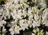 Japanische Azalee 'Schneewittchen', 20-25 cm, Rhododendron obtusum 'Schneewittchen', Containerware