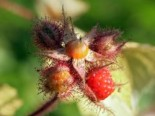 Sonstige Früchte - Japanische Weinbeere / Rotborstige Himbeere, 40-60 cm, Rubus phoenicolasius, Containerware