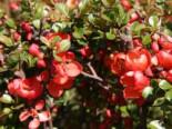 Wildbäume u. Wildsträucher - Japanische Zierquitte / Niedrige Scheinquitte, 40-60 cm, Chaenomeles japonica, Containerware