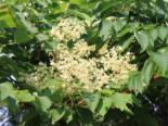 Laubbäume - Japanischer Angelicabaum / Teufelskrückstock, 40-60 cm, Aralia elata, Containerware