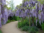 Japanischer Blauregen 'Blue Dream', 125-150 cm, Wisteria floribunda 'Blue Dream', Containerware