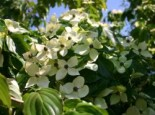 Chinesischer Blumen-Hartriegel 'Teutonia' Cornus kousa var. chinensis 'Teutonia'