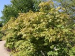 Laubbäume - Japanischer Fächerahorn 'Osakazuki', 40-60 cm, Acer palmatum 'Osakazuki', Containerware