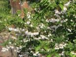 Japanischer Storaxbaum / Japanischer Schneeglöckchenbaum, 30-40 cm, Styrax japonica, Containerware