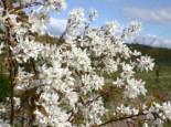 Blütensträucher und Ziergehölze - Kahle Felsenbirne, 40-60 cm, Amelanchier laevis, Containerware