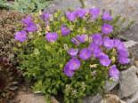 Steingarten - Niedrige Glockenblume 'Blaue Clips', Campanula carpatica 'Blaue Clips', Containerware