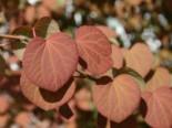 Katsurabaum / Kuchenbaum / Lebkuchenbaum Cercidiphyllum japonicum