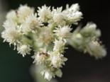 Steingarten - Katzenpfötchen, Antennaria dioica, Topfballen