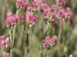 Steingarten - Katzenpfötchen 'Rubra', Antennaria dioica 'Rubra', Topfballen