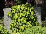 Kletterpflanzen - Kaukasus Efeu 'Sulphur Heart', 40-60 cm, Hedera colchica 'Sulphur Heart', Containerware