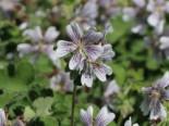 Steingarten - Kaukasus Storchschnabel, Geranium renardii, Containerware