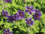 Steingarten - Kaukasus Storchschnabel  'Philippe Vapelle', Geranium renardii 'Philippe Vapelle', Topfballen