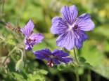 Steingarten - Kaukasus-Storchschnabel 'Terre Franche', Geranium renardii 'Terre Franche', Topfballen