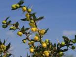 immergrüne Laubbäume - Kissen-Berberitze / Schneeige Berberitze, 25-30 cm, Berberis candidula, Containerware