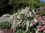 Kleine Prunkspiere 'The Bride', 100-125 cm, Exochorda macrantha 'The Bride', Containerware