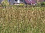 Gräser - Kleines Pfeifengras 'Heidebraut', Molinia caerulea 'Heidebraut', Containerware