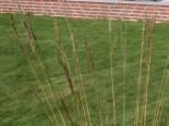 Gräser - Kleines Pfeifengras, Molinia caerulea, Topfballen