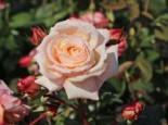 Kletterrose 'Barock' ®, Rosa 'Barock' ®, Containerware