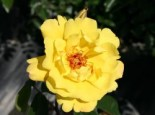 Kletterrose 'Golden Showers' ®, Rosa 'Golden Showers' ®, Containerware