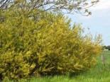 Knackweide, 60-100 cm, Salix fragilis, Containerware