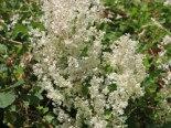 Kletterpflanzen - Knöterich / Schlingknöterich, 60-100 cm, Polygonum aubertii / Fallopia aubertii, Containerware