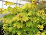 Laubbäume - Kolchischer Goldahorn 'Aureum', 60-80 cm, Acer cappadocicum 'Aureum', Containerware