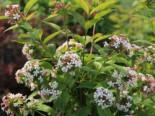 Laubbäume - Koreanische Abelie, 40-60 cm, Abelia mosanensis, Containerware